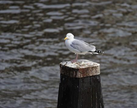 amstel river: Adult herring gull resting on a post along Amstel river