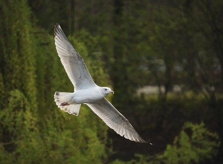 Juvenile herring gull soaring sideways among woods in a park photo