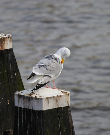 amstel river: Adult herring gull resting on post along Amstel river, teasing feather
