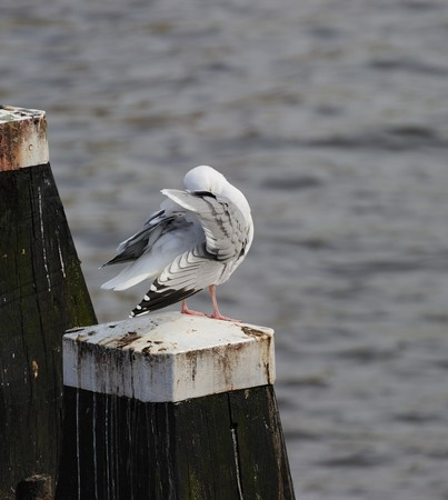 amstel river: Adult herring gull resting on post along Amstel river, teasing feather, with head embeded among its feathers Stock Photo