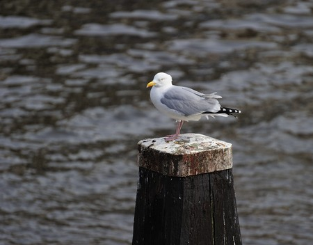 amstel: Adult herring gull resting on a post along Amstel river