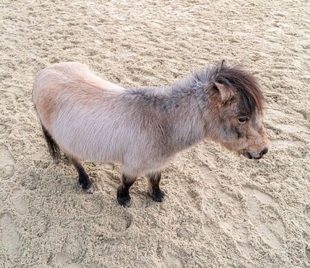 Scotland pony grey color standing from above