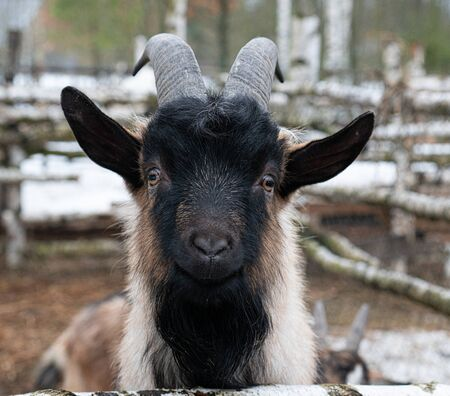 Funny goat head black horns