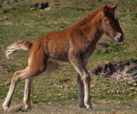 island�s: Joven caballo island�s
