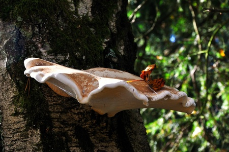 czech republic coin: beautiful autumn mushrooms on the tree