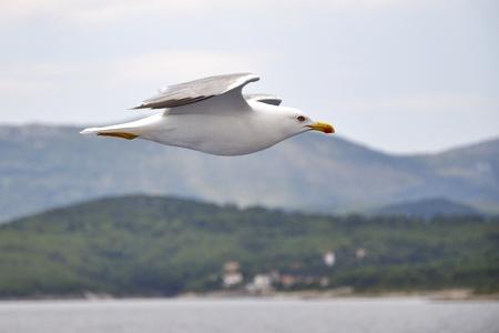 seagull flying on blue sky, croatia photo