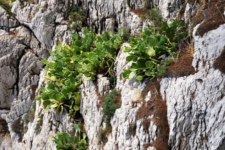 torridity: cactus opuntia ficus,  prickly pear - mediterranean flora Stock Photo