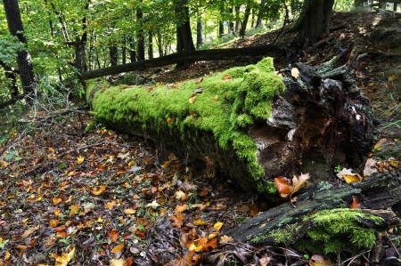 Moss covered old tree trunk in forest photo