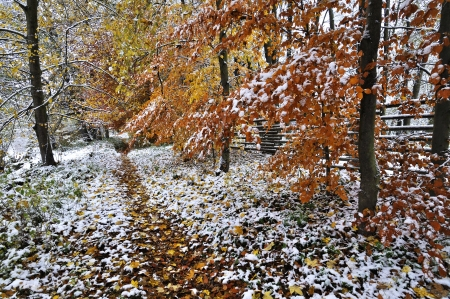Autumn leafs under first snow photo