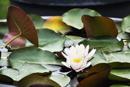 white water lily between large leaves Stock Photo