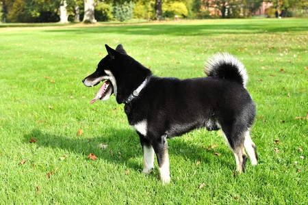 Dog Shiba Inu in the park Stock Photo