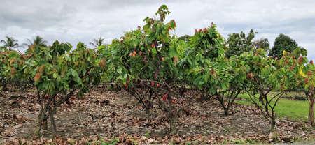 Photo of green cocoa farm