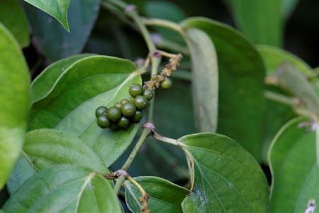 A branch with green Black pepper fruits and leaves 免版税图像