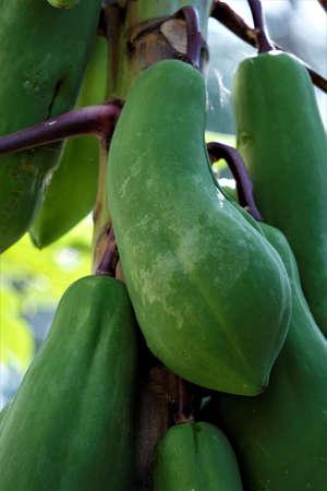 Fresh papaya fruit on the tree