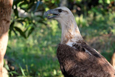 The white-bellied sea eagle (Haliaeetus leucogaster), also known as the white-breasted sea eagle, is a large diurnal bird of prey in the family Accipitridae