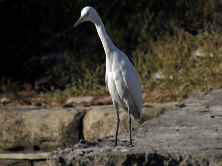 brown throated: The Crane : Early Morning Shot of the Indian Crane. Gujarat  India.