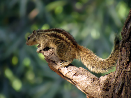 brown throated: Hunger  Games : a squirrel captured just before her leap towards food. Gujarat  India.