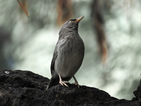 The jungle babbler is a member of the family Leiothrichidae found in the Indian subcontinent.