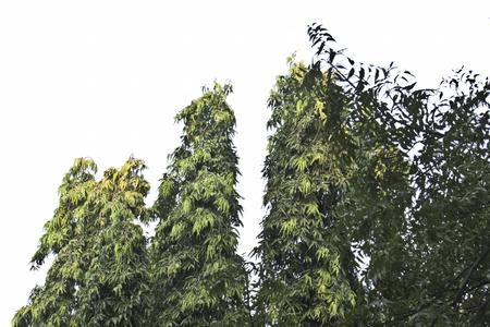 trusted: asopalav tree  isolated on white  Polyalthia longifolia Stock Photo