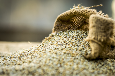 Raw organic Pennisetum glaucum,Pearl  millet coming out of a gunny bag.