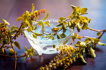 Tulsi ka pani or extract of holy basil or Ocimum tenuiflorum used in many holy works and in modern and ayurvedic medicines along with homeopathic and aromatherapy  works.