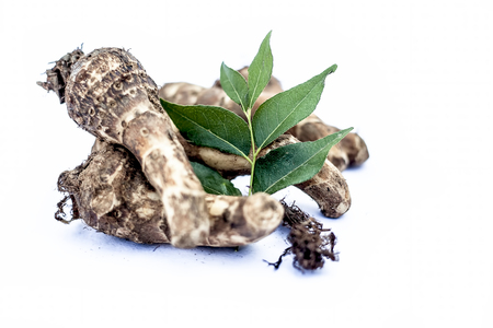 Close up of rare vegetable i.e. roots of jack fruit  or Jackfruit roots isolated on white also known as kathal or kathal ki chal or kathal ki gad or kathal ki jed with raw fresh leaves. Banco de Imagens