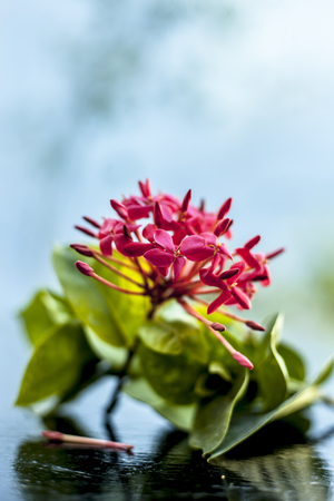 Close up of red colored pentas flower or Egyptian Star Flower or jasmine on wooden surface. Stock Photo
