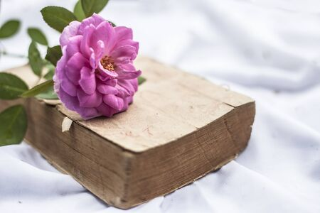 Pink rose on the old book with yellow color on white fabric. Isolated.