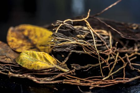 Close up shot of cut aerial roots of banyan tree along with some dried yellow-colored banyan leaves with it on a black surface. Horizontal shot.