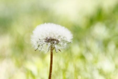 Dandelion flower in a green grass photo
