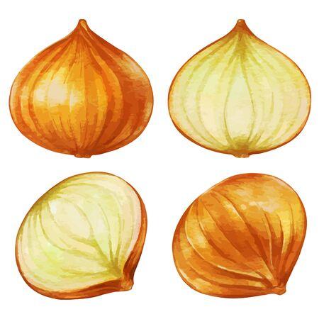 Onion Cross Section Illustration
