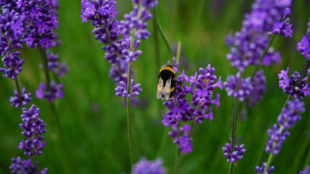 Hard-working bumble bee in Lavender farm, New Zealand