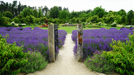 Open steel gate in lavender farm, New Zealand Stock Photo
