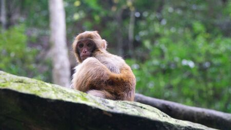 A cute little Rhesus macaque (Macaca mulatta) monkey in Zhangjiajie National Forest Park, China