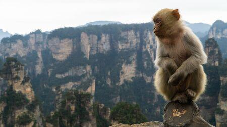A cute Rhesus macaque (Macaca mulatta) monkey in Zhangjiajie National Forest Park, view of limestone pillars, China