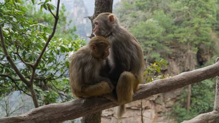 Rhesus macaque (Macaca mulatta) monkeys in Zhangjiajie National Forest Park, macaque mum with her baby, China