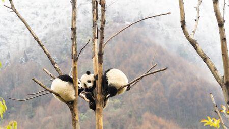 Three cute Giant panda cubs sleeping in the tree, Wulong, China