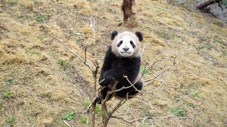 Cute Giant panda cub climbing to the top of small tree, Wulong, China Stok Fotoğraf
