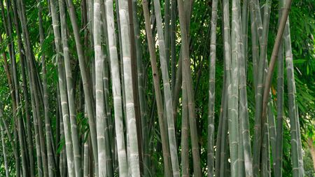 High bamboo sticks in green bamboo forest, China