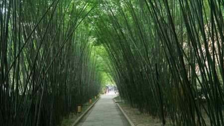 Pathway leading through dark green bamboo forest, China