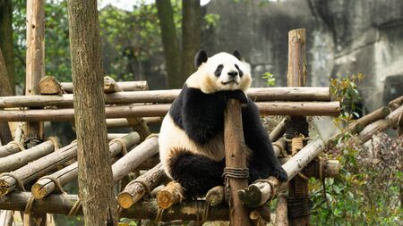 A cute adult Giant panda sitting and relaxing in the park, endangered speicie, China Stok Fotoğraf