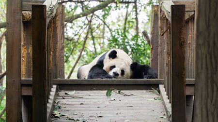 Sleeping lazy adult Giant panda, endangered specie, China Stok Fotoğraf