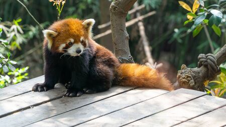 Cute Red panda, a native animal for southwestern China, Central China