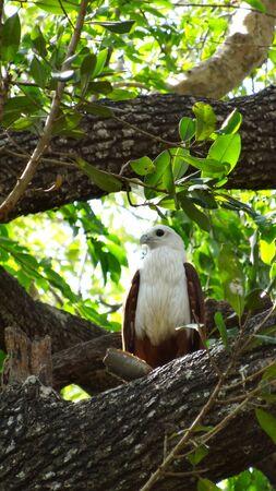 Watching a white-bellied sea eagle in Uda Walawe national park, Sri Lanka Stok Fotoğraf