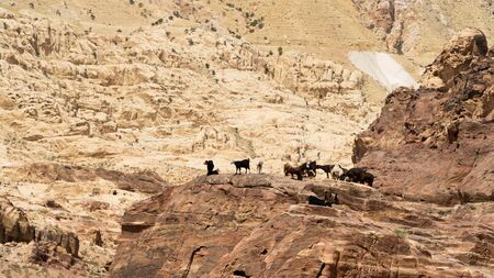 Herd of Nubian ibex, a desert-dwelling goat specie, goats searching for grass in rocky mountains surrounding a prehistoric rock carved city Petra, Jordan