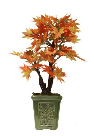 centenarian: maple bonsai Stock Photo