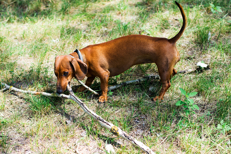 dachshund playing with a stick Stock fotó