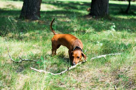 dachshund playing with a stick Stok Fotoğraf