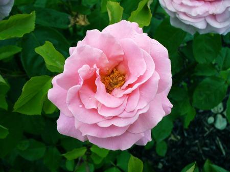 Rosa gallica - pink rose Фото со стока