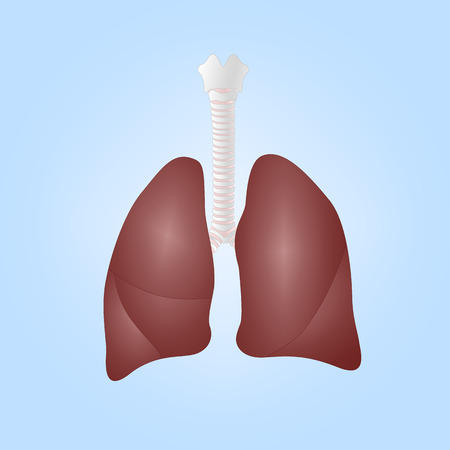 Realistic illustration of human lungs Vector